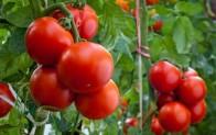 Beykoz'da Alım Garantili Tarımla Yüzler Gülecek