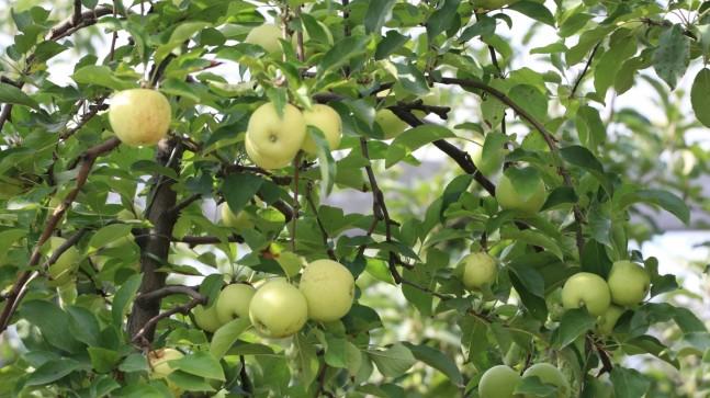 Beykoz Elması'nda Yüzler Gülüyor!..