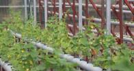 Beykoz'da Çilekten Salatalığa Topraksız Tarım Başladı!…