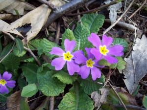 Primula vulgaris1