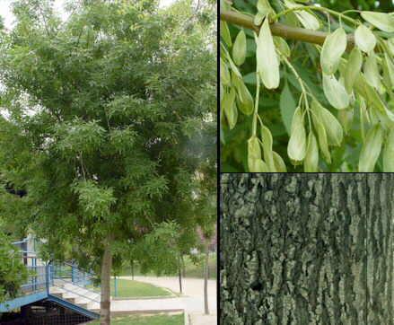 Fraxinusa angustifolia