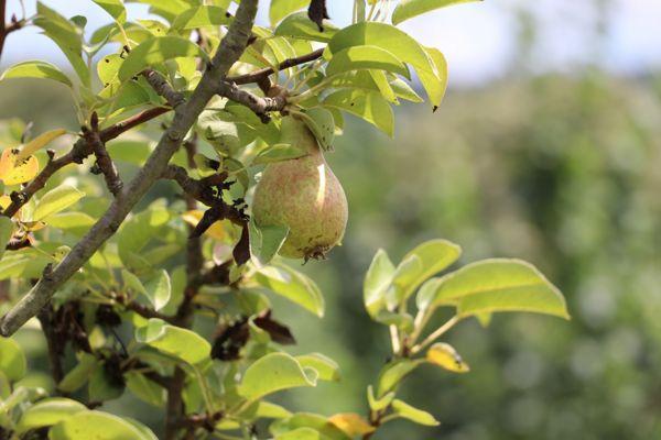 Paşamandıra Meyve Bahçesi-2019 (2)
