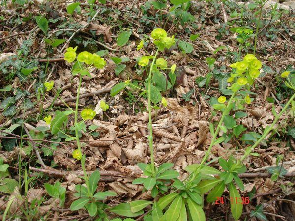 Euphorbia amygdaloides 2