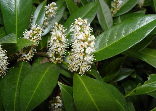 laurocerasus officinalis