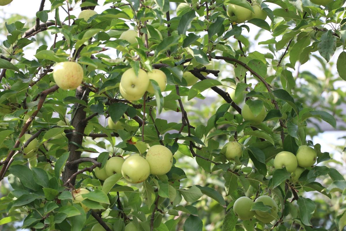 Beykoz Elması (3)
