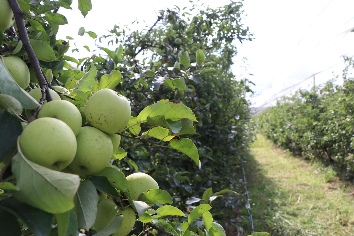 Beykoz Elması (4)