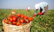 Beykozlu Çiftçilere Alım Garantili Üreticilik Müjdesi!..